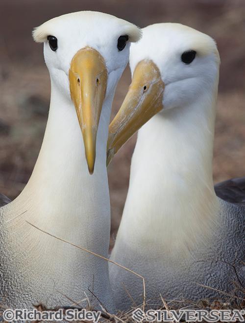 エスパニョーラ島のガラパゴスアホウドリ